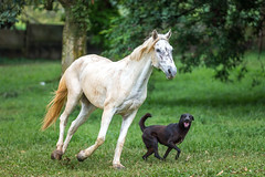 White horse and black dog (BP Chua) Tags: horse dog noahsark nanas natural animal sanctuary abandoned run gallop canon 1dx white black