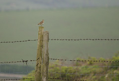 Skylark On A Post On The Sussex Downs (grahambrown1965) Tags: pentaxistds smcpentaxf300mmf45edif pentax istds 300mm sussex downs sussexdowns skylark lark bird birds post fence wire barbedwire barbedwirefence wildlife smcpf300mmf45edif