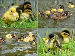 elftal met hoge aaibaarheidsfactor (cre8ive-M) Tags: eendjes donsjes elftal ducklings duck babyeendjes houten voorjaar lente spring cute cuties eleven