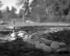 Unnamed Grave (macromary) Tags: 120 120film analog florida pentax6x7 mediumformat foma fomapan fomapan100 blackwhite analogphotograph bokeh bw blackandwhitefilm filmcamera film mechanicalcamera vintage vintagecamera levycounty cedarkey cedarkeyflorida oldflorida 105mm f24 shilohcemetery grave shells shellcoveredgrave cross