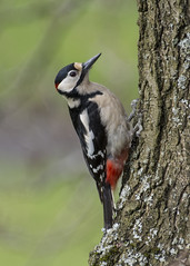 Great Spotted Woodpecker (Margaret S.S) Tags: bird great spotted woodpecker european