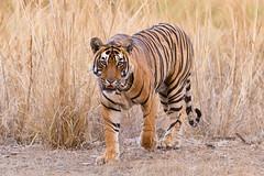 090 Day 2 Tigers (brads-photography) Tags: headon india male nationalpark pacman pantheratigristigris rajasthan ranthambore royalbengaltiger sawaimadhopur t85 tiger tigerreserve walking wildlife
