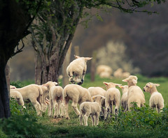 Maasai Lambs (NED_KELLY_GUY) Tags: fun jumpy launch jolly bounce boingy baby young wool excited new ashridgeestate springy levitate sheep lamb elevated farm livestock offspring uplifting spring japes fresh chilterns happy field