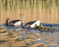 SUNDAY SWIM AT ARKLOW DUCK POND 2017 (philipmaeve12) Tags: select birds wildlife arklow duck pond