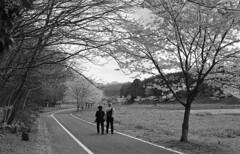 Promenade (odeleapple) Tags: nikon f5 af nikkor 50mm yellowfilter kodaktmax100 film monochrome promenade walk cherry blossom