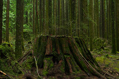 Ancient Cedar (Kristian Francke) Tags: ancient vancouver metro outdoors landscape nature natural pentax green spring vertical lines tree trees stump old historic history bc canada british columbia goldenearsprovincialpark
