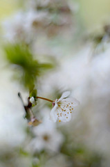 Spring flowering (ElaR.) Tags: nature spring plants flower springflower flora treetwig white whiteflower plumblossom garden outdoor nikon
