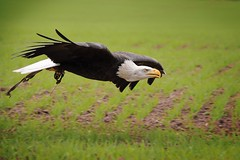 Bald Eagle (Paul A Wiles) Tags: bald eagle pwiles1968