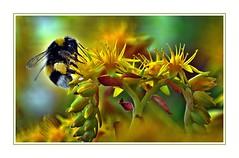 Piatto ricco mi ci ficco - Rich dish, I will shove (Jambo Jambo) Tags: fiori flowers primavera spring nikond5000 jambojambo grosseto maremma toscana tuscany italia italy bombo bombus bumblebee sedum stonecrop sedumpalmeri piantagrassa