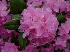 Rhododendron (Dendroica cerulea) Tags: rhododendron rhodoreae ericoideae ericaceae ericales flower flowers plant shrub drops water rain garden spring highlandpark middlesexcounty nj newjersey