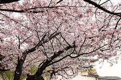 Behind the Cherry Trees (moaan) Tags: himeji hyogo japan jp sakura rowofcherrytrees cherryblossoms blossoming blossoms inblossom fullblossom castle himejicastle architecture covered coverwithcherrytrees canoneos5dsr ef1635mmf4lisusm urata 2017