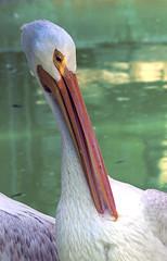 Memphis Zoo 08-31-2016 - American White Pelican 4 (David441491) Tags: americanwhitepelican pelican bird memphiszoo