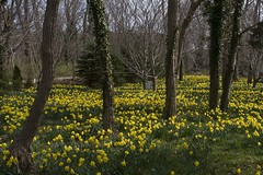 Locusts Wading through the Daffodils (brucetopher) Tags: daffodil daffodils forest garden yellow locust tree field flowers spring season easter beauty scenery landscape stunning magical enchanted prolific abundant bloom flowering blooming legs tall thin trees wade walking stride meadow