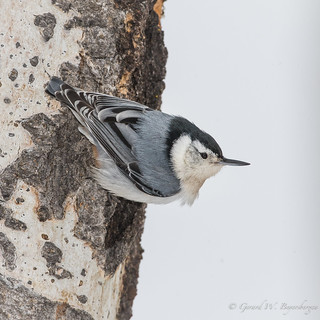 White-b.easted Nuthatch
