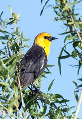 Yellow-Headed Black Bird (Ed Sivon) Tags: american america canon nature lasvegas wildlife wild western southwest sun desert clarkcounty clark color flickr vegas bird black yellow henderson nevada nevadadesert preserve