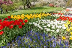 Tulips (witajny) Tags: 2017 seasons spring garden green grass brooklynbotanicgarden newyork nature tulips flowers flowershow colorful color landscape