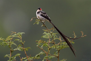 Pin-tailed Wydah (Vidua macroura) Near Brazzaville, Republic of Congo, 2014