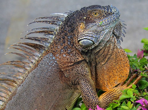 iguana nature reptile animal wildlife chadsparkesphotography canoneosrebelt5 grandcayman