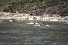 Floating on the River (eyriel) Tags: river landscape waterscape shore shoreline bird birds goose pair nature wildlife
