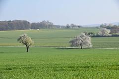 cherry trees in rasp fields (Takikura) Tags: mist germany spring cherryblossoms sunshine morning