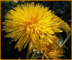 Dandelions (ERIK THE CAT Struggling to keep up) Tags: littleheath toft staffordshire wildflowers taraxacumofficinale doublefantasy ngc npc