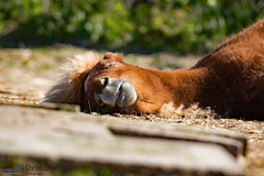 Mini Shetland Pony (ChrisAir86) Tags: sleep mini shetland pony horsesofinstagram horseriding cheval equipo art landscape human wayoflife equestrian middle dark age equine equineart equines equinesofinstagram horselife horselove