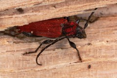 Pyrrhidium sanguineum (chug14) Tags: animalia longicorne arthropoda hexapoda insecta coleoptera cerambycidae callidierouge callidiesanguine callidiecouleurdefeu pyrrhidiumsanguineum