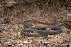 Greater black whipsnake (Demansia papuensis) Adelaide River, NT (ross.mcgibbon) Tags: reptile reptiles snake snakes squamata elapid venomoussnakes species tail scales terrestrial herpetology herping nature conservation wildlife fauna flora animals animal australia habitat deserts sand beach sun sunset sky clouds northern southern eastern western red green blue yellow travel outback holiday photography canon wideangle macro slr lens camera photo image shot