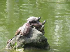 Wisteria Festival at Kameido Tenmangu Shrine (walking.biking.japan) Tags: tokyo kameido kotoku shrine turtles animals