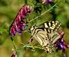a moment of butterfly's life (maria xenou) Tags: αγριολουλουδα πεταλουδα ζωη χρωματα ανοιξη εντομο μεταμορφωση ψυχη ελλασ αυρα αναπνοη ανασα ψωντανια ευτυχια φυση στιγμεσ μαρια ξενου φωτοδρομοσ χαρα σκεψεισ canoneos1100d fotodromos photodromos maria joy schmetterling insekt natur nature beauty seele psyche soul butterfly flower happiness moment momente hauch atem breath humansoul menschlicheseele details macro outdoor metamorphosis verwandlung metamorphose swallowtailbutterfly schwalbenschwanz schwalbenschwanzschmetterling