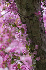 Pretty in Pink (Christie Purchase) Tags: pink flowers flower floral tree trunk branch bokeh nature spring canon 50mm