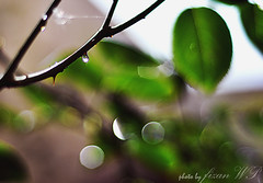 droplet? (Fizan Sew Addict) Tags: leaves bokeh droplet
