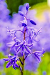 Bluebell (Jez22) Tags: uk flowers blue wild england copyright plant flower color colour english nature floral beautiful beauty bluebells woodland season carpet outside outdoors countryside petals spring flora purple natural background fresh bloom flowering wildflowers common botany bluebell springtime blooming pendulous hyacinthoides nonscripta jeremysage