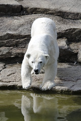 Polar Bear (Pabs777) Tags: bear berlin nature animal zoo nikon wildlife polarbear animalplanet berlinzoo 2013 tc14ii d7000 nikond7000 nikon70200mmvriif28