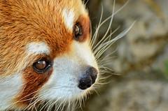 野毛山動物園のレッサーパンダのキンタ(♀) (Red Panda of Nogeyama Zoo) (Dakiny) Tags: animal animals zoo panda redpanda yokohama 野毛山動物園 動物 動物園 パンダ レッサーパンダ 横浜市西区 nogeyaamzoo