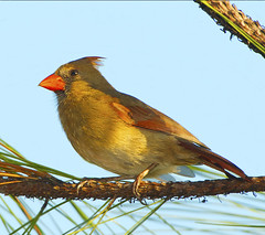 Female Cardinal In Habitat (billkominsky ) Tags: bravo avianexcellence
