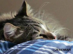Jeremiah (Lisa Zins) Tags: cats cat fur tn catnap mainecoon kitties mtjuliet mtjuliettn lisazins