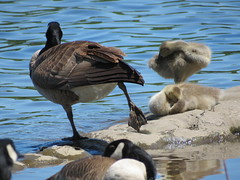 Silver Lake Residents (Rose Colored Photo) Tags: baby water birds goose silverlake gosling fowl canadiangoose canadiangeese babygoose babygeese