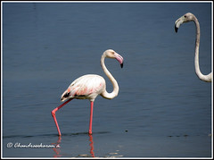 3211 - flamingos (chandrasekaran a 560k + views .Thanks to visits) Tags: india nature birds canon flamingos ap pulicatlake powershotsx40hs