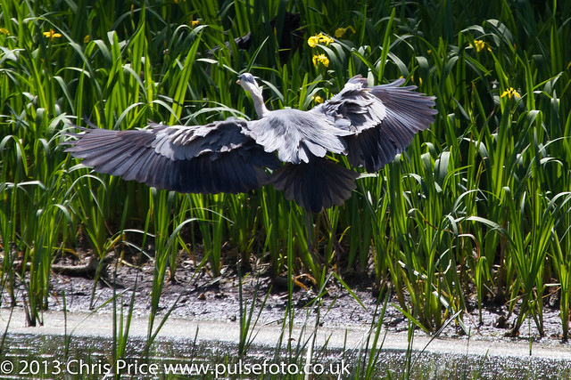 Grey Heron at Bosherton Lakes