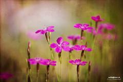 Pink revolution (>>Marko<<) Tags: summer flower nature canon suomi finland joensuu kes luonto kukka valokuvaus