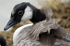 windy miller (explored) (Dawn Porter) Tags: somerset goose gosling