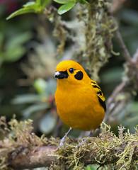 Tngara Dorada, Golden Tanager (Tangara arthus) 10 (jjarango) Tags: birding aves pajaros birdwatching colibr avesdecolombia birdingcolombia avesdecolombiaavescolombiabirdingbirdwatchingpjaros