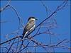 Eastern Kingbird (pjmaudsley) Tags: me2youphotographylevel2 me2youphotographylevel1 freedomtosoarlevel1birdsonly freedomtosoarlevel2birdsonly