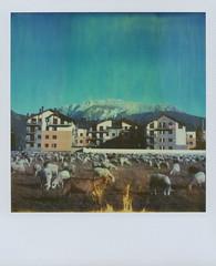 sheep & buildings
