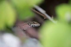(Angeles TC) Tags: selva lizard hide lagarto escondido navarra irati