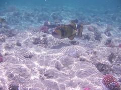 Titan triggerfish (the_crow_19_78) Tags: redsea marsaalam titantriggerfish marrosso pescebalestratitano