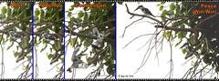Combating Kingfishers (Raj the Tora) Tags: fight kingfisher pied lesser piedkingfisher birdfight kingfishercombat perchfight perchcombat
