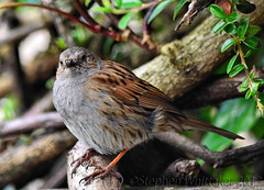 Dunnock / Hedge Sparrow (Stephen Whittaker) Tags: nikon d5100 whitto27