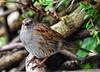 Dunnock / Hedge Sparrow (Stephen Whittaker) Tags: nikon d5100 whitto27
